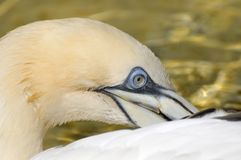 Northern Gannet (Morus bassanus). The Northern Gannet (Morus bassanus) is a seabird and also the largest member of the gannet family. Gannets hunt fish by diving Royalty Free Stock Photography