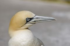 Northern Gannet (Morus bassanus). The Northern Gannet (Morus bassanus) is a seabird and also the largest member of the gannet family. Gannets hunt fish by diving Royalty Free Stock Photo