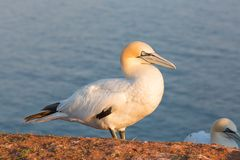 Northern Gannet at the German Island Helgoland. Northern Gannet Morus bassanus in sunset at the Island Helgoland, Germany stock image