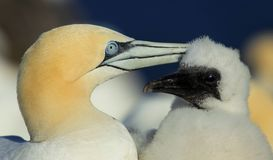 Northern Gannet Mother and Chick Royalty Free Stock Photography