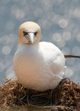 A northern gannet on a nest Stock Photography