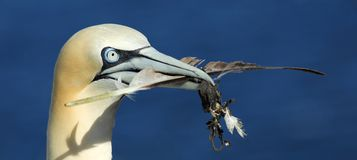 Northern Gannet with Nesting Material Royalty Free Stock Image