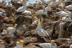 Northern gannet Stock Images