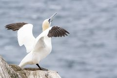 Northern Gannet On A Cliff Spreading Wings Royalty Free Stock Photo