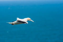 Northern gannet over the North Sea Stock Images