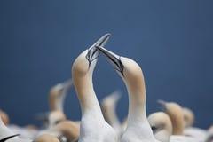 Northern Gannet pair on Bonaventure Island Royalty Free Stock Photography