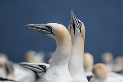 Northern Gannet pair on Bonaventure Island Stock Photo