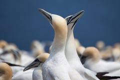 Northern Gannet pair on Bonaventure Island Royalty Free Stock Photos