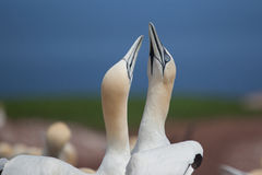 Northern Gannet pairs on Bonaventure Island Stock Photos