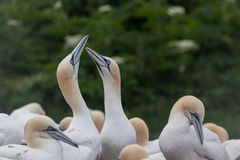 Northern Gannet pairs on Bonaventure Island Royalty Free Stock Photos