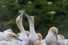 Northern Gannet pairs on Bonaventure Island Royalty Free Stock Photos