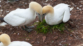 Northern Gannet pairs building nest Stock Photography
