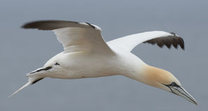 Northern gannet preparing to land on Helgoland, Germany. Close up of flying northern gannet (Morus bassanus) is preparing to land on helgoland, germany - sea in royalty free stock images