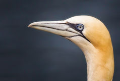 Northern Gannet Profile Stock Photos