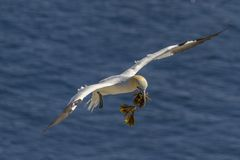 Northern Gannet with seaweed over water