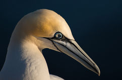 Northern gannet Royalty Free Stock Image