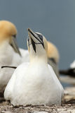 Northern gannet sitting on its nest Stock Photos