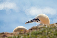 Northern gannet sitting on the nest Stock Images