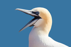 Northern gannet sitting on the nest Stock Photos