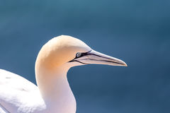 Northern gannet sitting on the nest Royalty Free Stock Photo