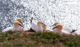 Northern gannet sitting on the nest Stock Photo