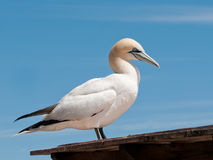 Northern gannet standing Royalty Free Stock Photo