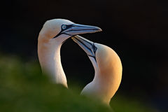 Northern Gannet, Sula bassana, detail head portrait with evening sun and dark sea in the background, beautiful birds in love, pair royalty free stock photo
