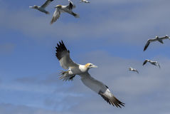 Northern Gannet - Sula bassana, Shetlands, United Kingdome. Colony of Northern Gannets, Shetlands, UK Stock Photos