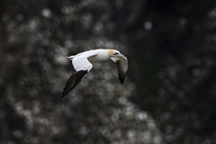 Northern Gannet - Sula bassana, Shetlands, United Kingdome. Colony of Northern Gannets, Shetlands, UK Royalty Free Stock Image
