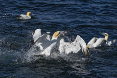 Northern Gannet - Sula bassana, Shetlands, United Kingdome. Northern Gannet fishing mackerel, Shetlands, UK Stock Image