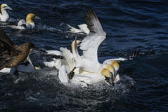 Northern Gannet - Sula bassana, Shetlands, United Kingdome. Northern Gannet fishing mackerel, Shetlands, UK Royalty Free Stock Images