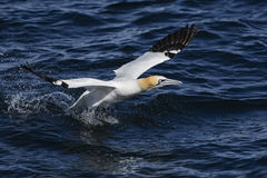 Northern Gannet - Sula bassana, Shetlands, United Kingdome. Northern Gannet fishing, Shetlands, UK Royalty Free Stock Photography
