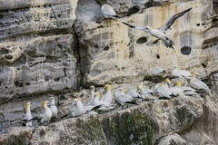Northern Gannet - Sula bassana, Shetlands, United Kingdome. Northern Gannets on the cliff in Shetlands, Scotland Stock Photo