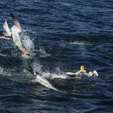 Northern Gannet - Sula bassana, Shetlands, United Kingdome. Northern Gannets on the cliff in Shetlands, Scotland Stock Photography