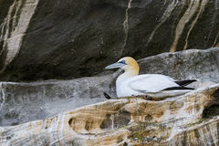 Northern Gannet - Sula bassana, Shetlands, United Kingdome. Northern Gannets on the nest, Shetlands, UK Stock Photography