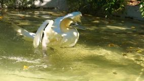 Northern gannet taking a bath, coastal bird in the water flapping its wings, common water bird specie from the atlantic coast