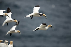 Northern Gannets. Flying over the Atlantic Ocean Royalty Free Stock Photo