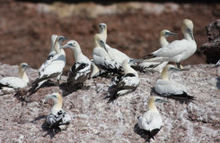 Northern Gannets Stock Images