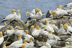 Northern Gannets Royalty Free Stock Image