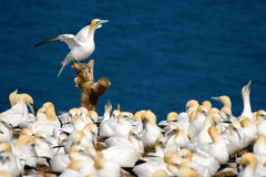 Northern Gannets. Colony of Northern Gannets on Bonaventure Island, Gaspe, Quebec Royalty Free Stock Photo