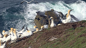 Northern gannets on a big cliff rock Stock Images