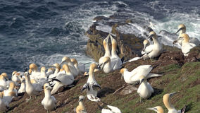 Northern gannets on a big cliff rock Stock Photos