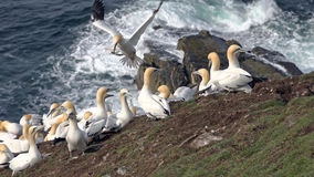 Northern gannets on a big cliff rock Royalty Free Stock Images