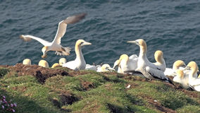 Northern gannets on a big cliff rock Stock Photography