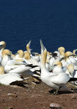 Northern Gannets Royalty Free Stock Photos