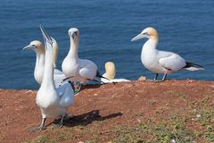 Northern gannets in breeding colony at cliffs of German Helgolan. Northern gannets in breeding colony at cliffs of Helgoland island, Germany stock photo