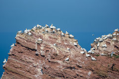 Northern gannets in breeding colony at cliffs of German Helgoland island. Northern gannets in breeding colony at cliffs of Helgoland island, Germany stock photo