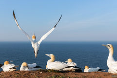 Northern gannets in breeding colony at cliffs of German Helgoland island. Northern gannets in breeding colony at cliffs of Helgoland island, Germany royalty free stock photo