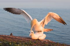 Northern gannets in breeding colony at cliffs of German Helgolan. Mating Northern gannets in breeding colony at cliffs of Helgoland island, Germany royalty free stock photo