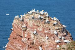 Northern gannets in breeding colony at cliffs of German Helgolan. Northern gannets in breeding colony at cliffs of Helgoland island, Germany royalty free stock photography